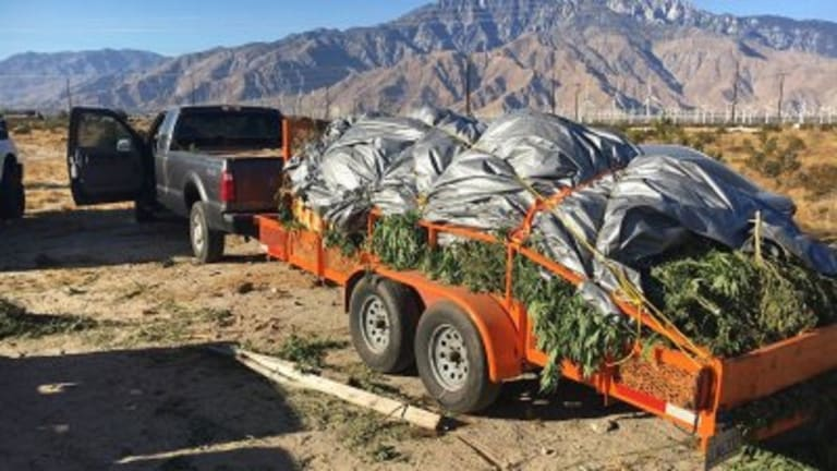1,200 MARIJUANA PLANTS SEIZED FROM OUT DOOR GROW OPERATION