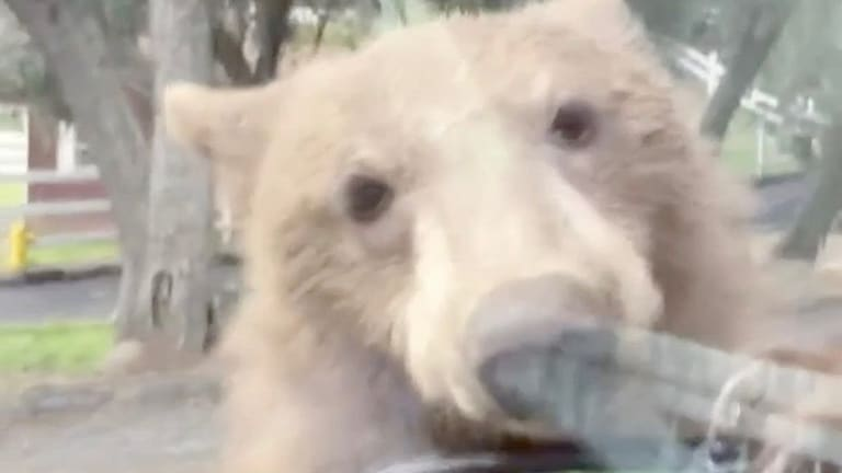 Bradbury Resident Encountered a Bear Looking for a Ride