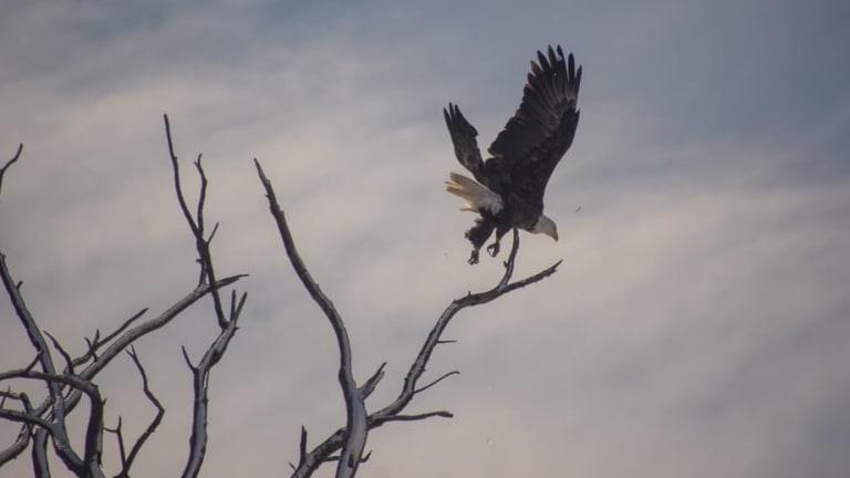 Eagle Watching in Rural Missouri