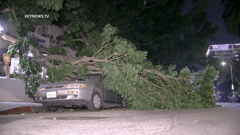 Large Tree Branch Falls Damaging 2 Parked Cars in Hollywood