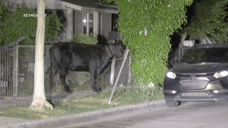 Cows Stampede Through Pico Rivera Escaping from Slaughterhouse (GRAPHIC)