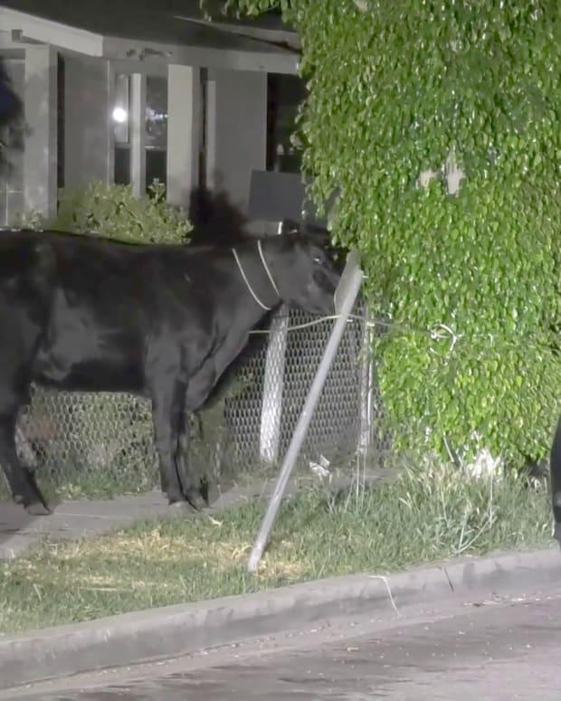 Cows Stampede Pico Rivera